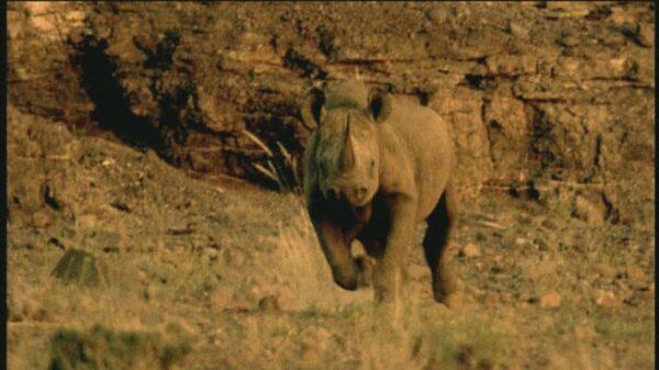 rinoceronte-carica