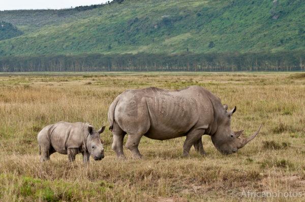 rinoceronte con piccolo